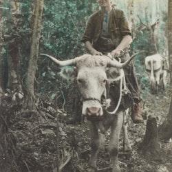 Youth on Bullock, Waitekauri.